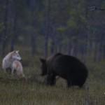 Varg och björn
