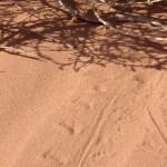 En av ödlorna i Wadi Rum.