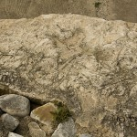 Krypspår av Psammichnites gigas, ett okänt djur, i underkambrisk sandsten. Branteviks hamn.