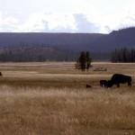Buffalos i Yellowstone, med varm källa i bakgrunden.