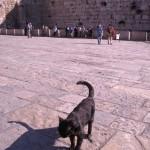 Katt vid klagomuren i Jerusalem