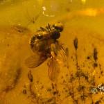 Kopulerande flugor. Nemedina eocenica