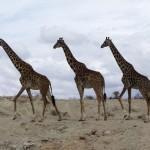 Giraffer i Amboseli
