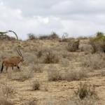 Oryxantilop i Amboseli