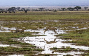 Geparder i Amboseli