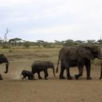 Nyfödd elefant i Serengeti