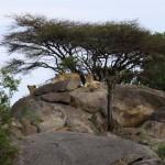 Lejon på kopje