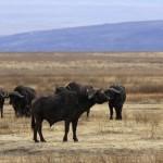 Bufflar i Ngorongoro