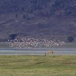 Flamingos i Ngorongorokratern